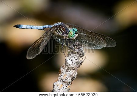 Blue Dasher Over Autumn Leaves