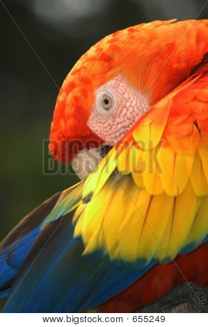 Scarlet Macaw Parrot2
