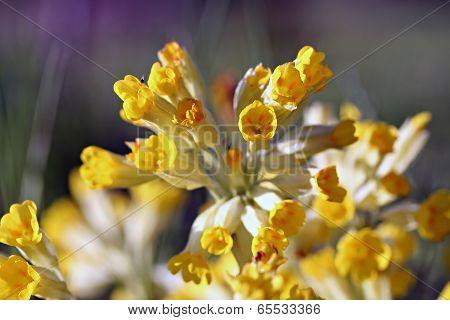 Primula Veris (cowslip, Common Cowslip) In Garden