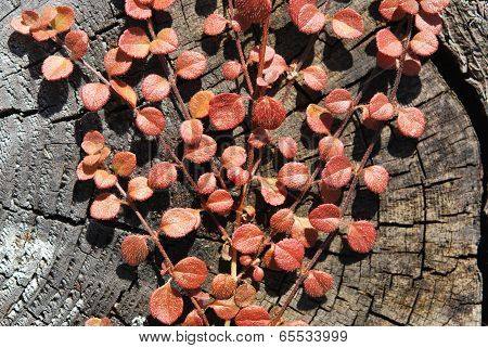 Red Liane Leaves