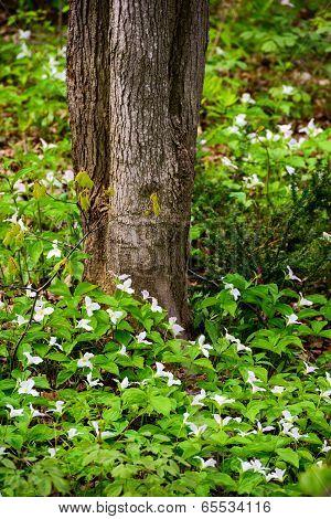 White Trilliums Ground Around The Base Of A Tree