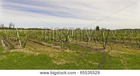 Uruguayan Vineyards