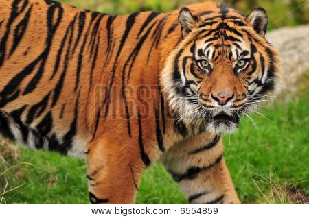 Adult sumatran male tiger looks towards the camera with vicious look on its face poster