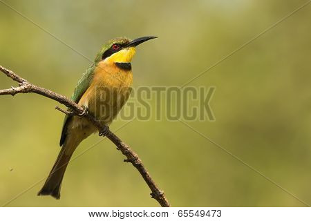 A Little-bee Eater (merops Pusillus) Looking Skywards