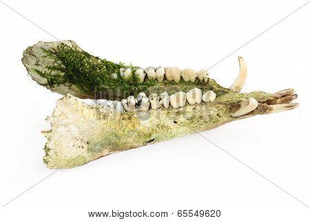 Lower jaw of a boar