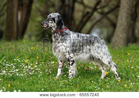 Cute Blue Belton English Setter Dog In A Spring Flowering Meadow