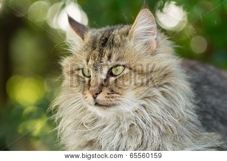 longhaired cat