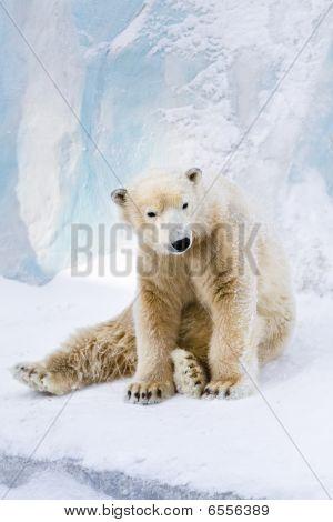 Young Polar Bear Looking Around