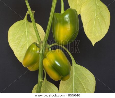 Bell Peppers Ripening