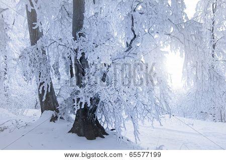 Frozen tree in winter forest