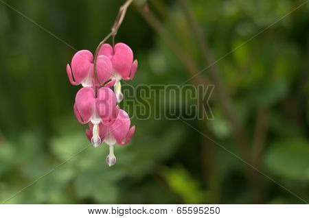 Bleeding Heart Quartet