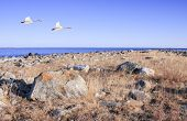 Evening, sunset by the coast of the Baltic Sea. A couple of whooper in the air. poster