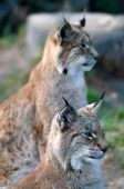 A pair of Lynxes survey the hunting situation. poster