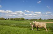 Sheep on a dike along the dollard route Germany poster