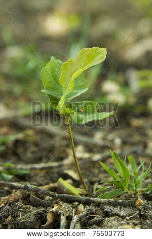 New Growth Of A Young Oak Tree