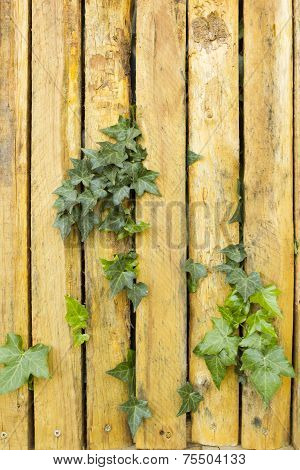 Ivy leaves in wooden fence