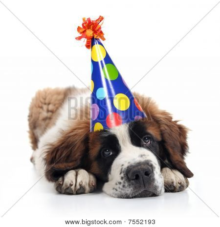 Mopey Saint Bernard Wearing a Polka Dot Birthday Silly Hat on White poster