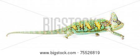 Cone Headed Chameleon
