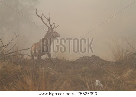 Red Deer Stag In Morning Fog