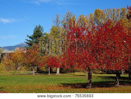 Scarlet trees create a beautiful autumn image in a Boise, Idaho city park.