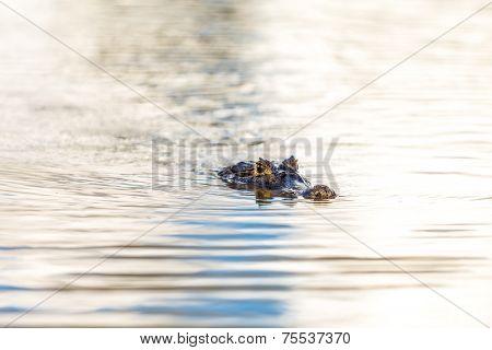 Wild Crocodile on the river
