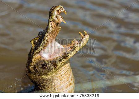 Wild Crocodile on the the river