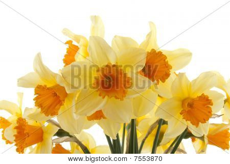 Yellow With Orange Daffodil Flowers