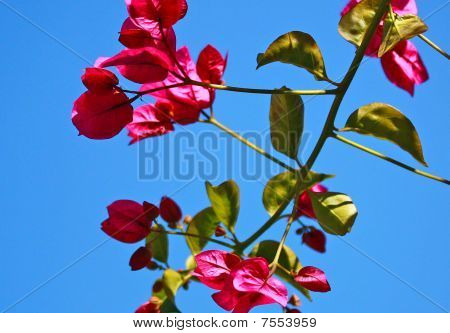 Bougainvilla Against the SKy