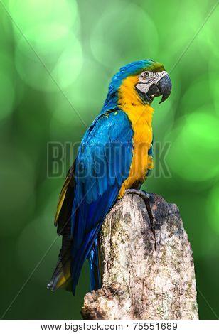 Amazing Blue and Yellow ( Arara ) Macaw