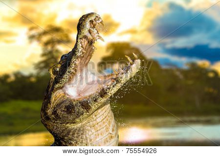 Amazing Wild Crocodile in Pantanal River - Pantanal is one of the world's largest tropical wetland areas located in Brazil , Latin America