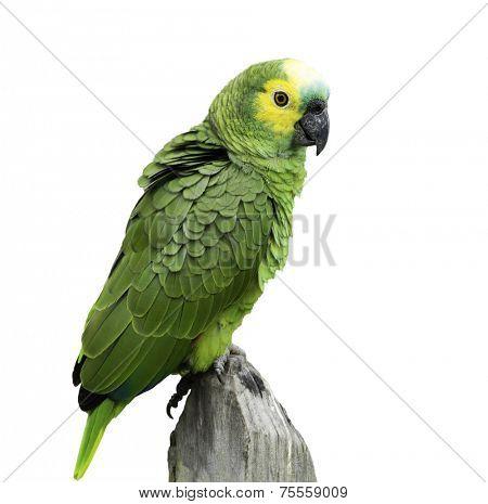 Brazilian Green Parrot on white background