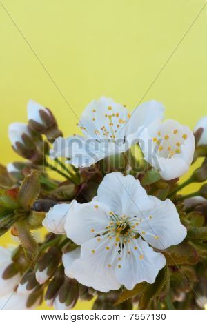 Flowers cherry, sweet cherry