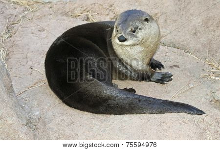 A River Otter Dries Out On A Rock