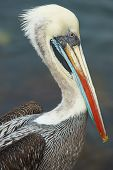 Portrait of a Peruvian Pelican (Pelecanus thagus) in the fishing harbour at Arica in Northern Chile poster