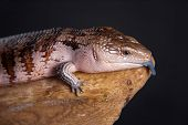 A blue tongue skink in a studio setting poster