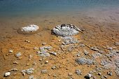Stromatolites - the oldest living organism on Earth - at Lake Thetis just outside of Cervantes in Western Australia poster