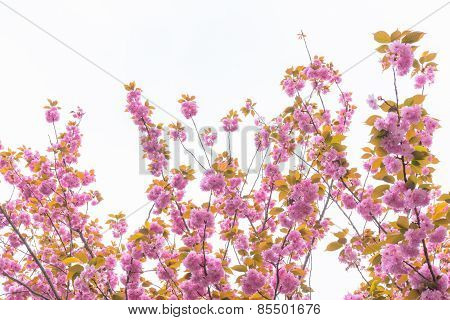 Blooming double cherry blossom branches and sky