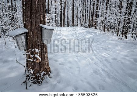 A walk through the deciduous maple woods and a visit to the maple syrup cabin shack. poster