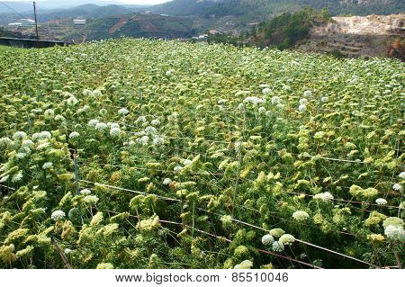 Asia agriculture field carrot flower in green with ca rot flower bloom in white seed from this flora for next crop beautiful scene and close up of blossom make fresh air poster