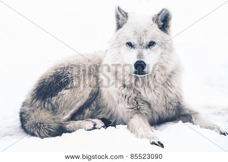 Laying Arctic Wolf