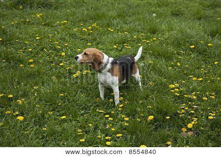 American Foxhound Dog
