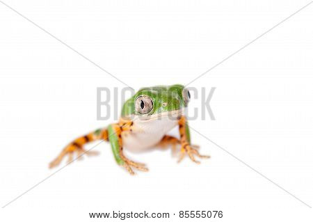 Northern orange-legged leaf frog on white