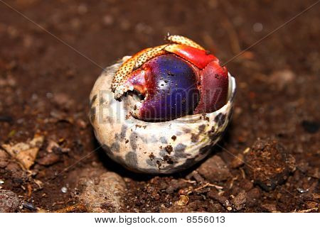A Hermit Crab hides in a shell on Saint Kitts. poster