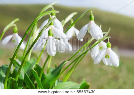 Gentle And Fragile First Springtime Tender Snowdrops Flowers