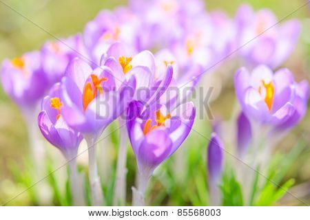 Fragile And Gentle Violet Crocus Spring Flowers