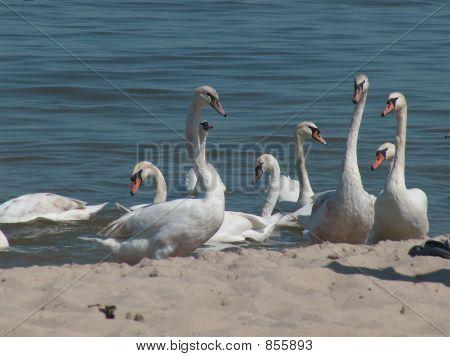 Wild white swans in water