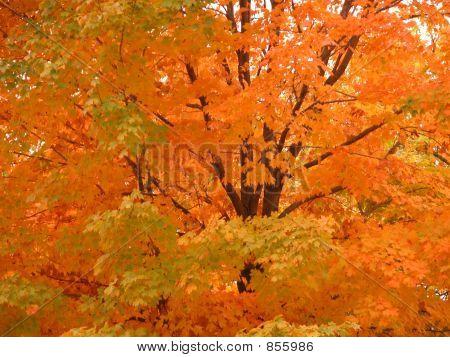 Glorious Fall Leaves