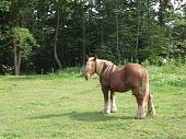 male and brown icelandic horse in a pasture poster