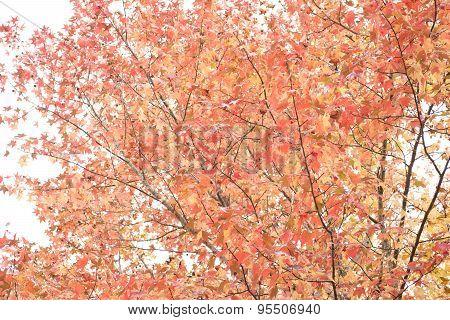 Autumn sweetgum tree