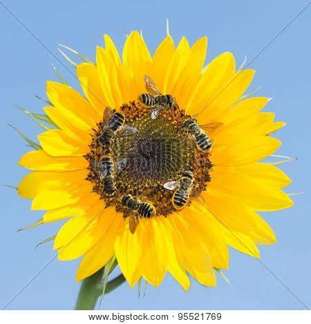 many bees collecting nectar on a sunflower against the sky